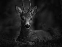 II pris i svartvitt:A.Lindblom: Rådjursbock