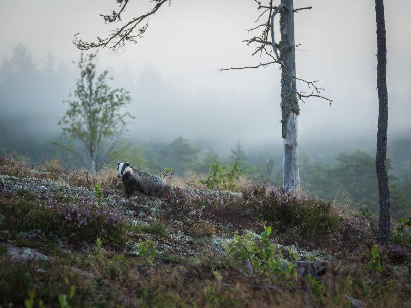 Grävling. Foto Annika Lindblom