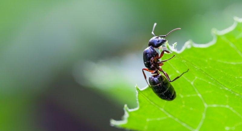 Hungrig som en myra. Foto Roland Öster