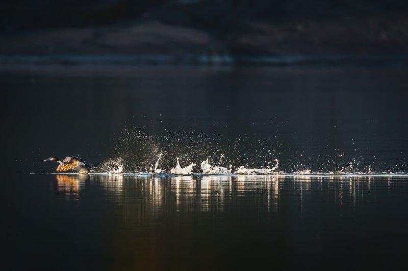 Skäggdopping. Foto Annika Lindblom